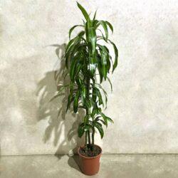 Драцена Hawaiiana 3 стволам (Ø 24 см, h 150 см)
