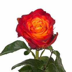 Роза Atomic 1