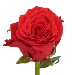 Роза Bright Torch