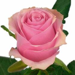 Роза Celeb 2