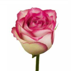 Роза E-vent