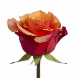 Роза Espana