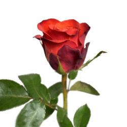 Роза Fiorella