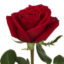 Роза Freedom 1