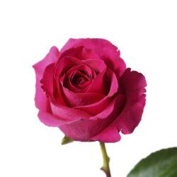 Роза Gotcha