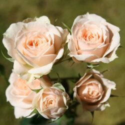 Роза Jana