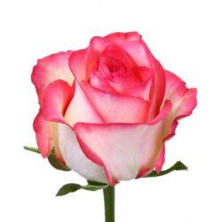 Роза Jumilia
