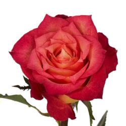 Роза Lampion