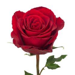 Роза Madam Red