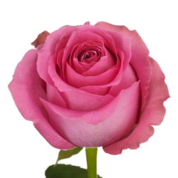 Роза Shanghai Lady