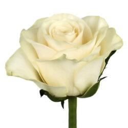 Роза Solsy