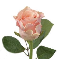 Роза Sweet Tacazzi