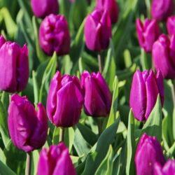 Тюльпан En Purple Prince