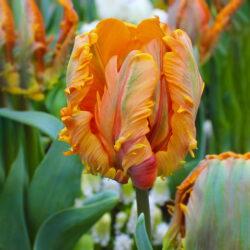 Тюльпан Irene Parrot