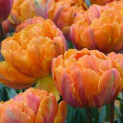 Тюльпан Orange Princes (Оранж Принцесс)