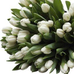 Тюльпан Royal Virgin