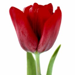 Тюльпан Seadov