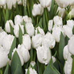 Тюльпан Smirnoff White