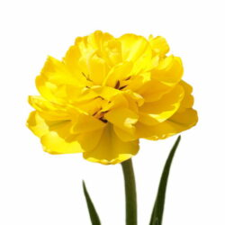 Тюльпан Yellow Wing