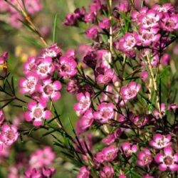 Хамелациум Waxflower Purple Pride