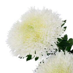 Хризантема Etrusko White