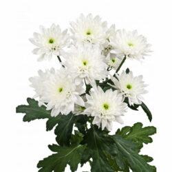 Хризантема Euro White