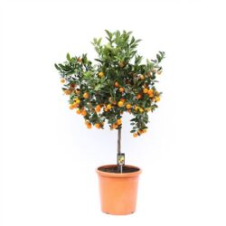 ЦИТРУС Calamondin On Stem