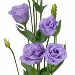 Эустома Rosita Lavender