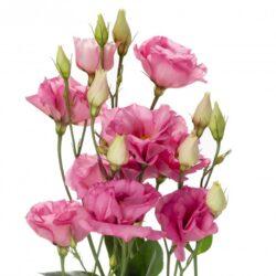Эустома Rosita Rose Pink