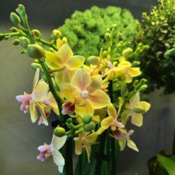 200701043655_Phalaenopsis-Aroma-8-1