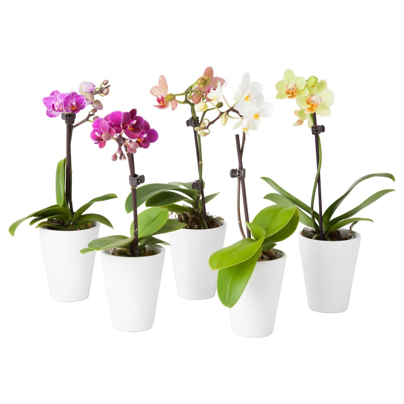 Орхидея Midi Mix (1 ст, Ø 6 см, h 25 см)