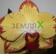 Орхидея Papagayo