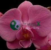 Орхидея Aberdrot
