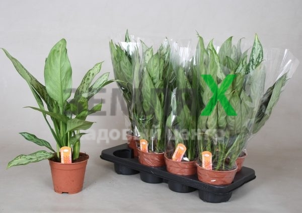 aglaonema-co-silver-queen
