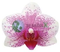Орхидея Antwerpen