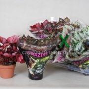 begonia-blad-rex