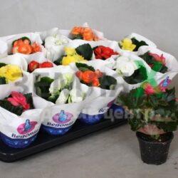 begonia-du-gemengd-2