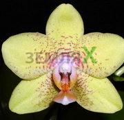 Орхидея Brother Golden Treasure