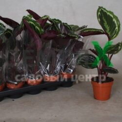 calathea-rosea-picta-gemengd-2