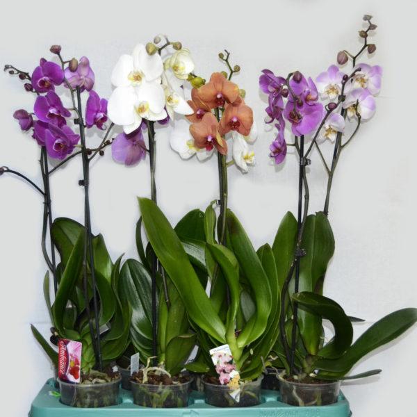 Фаленопсис микс, Phalaenopsis mix (1 ст, Ø 12 см, h 70 см)
