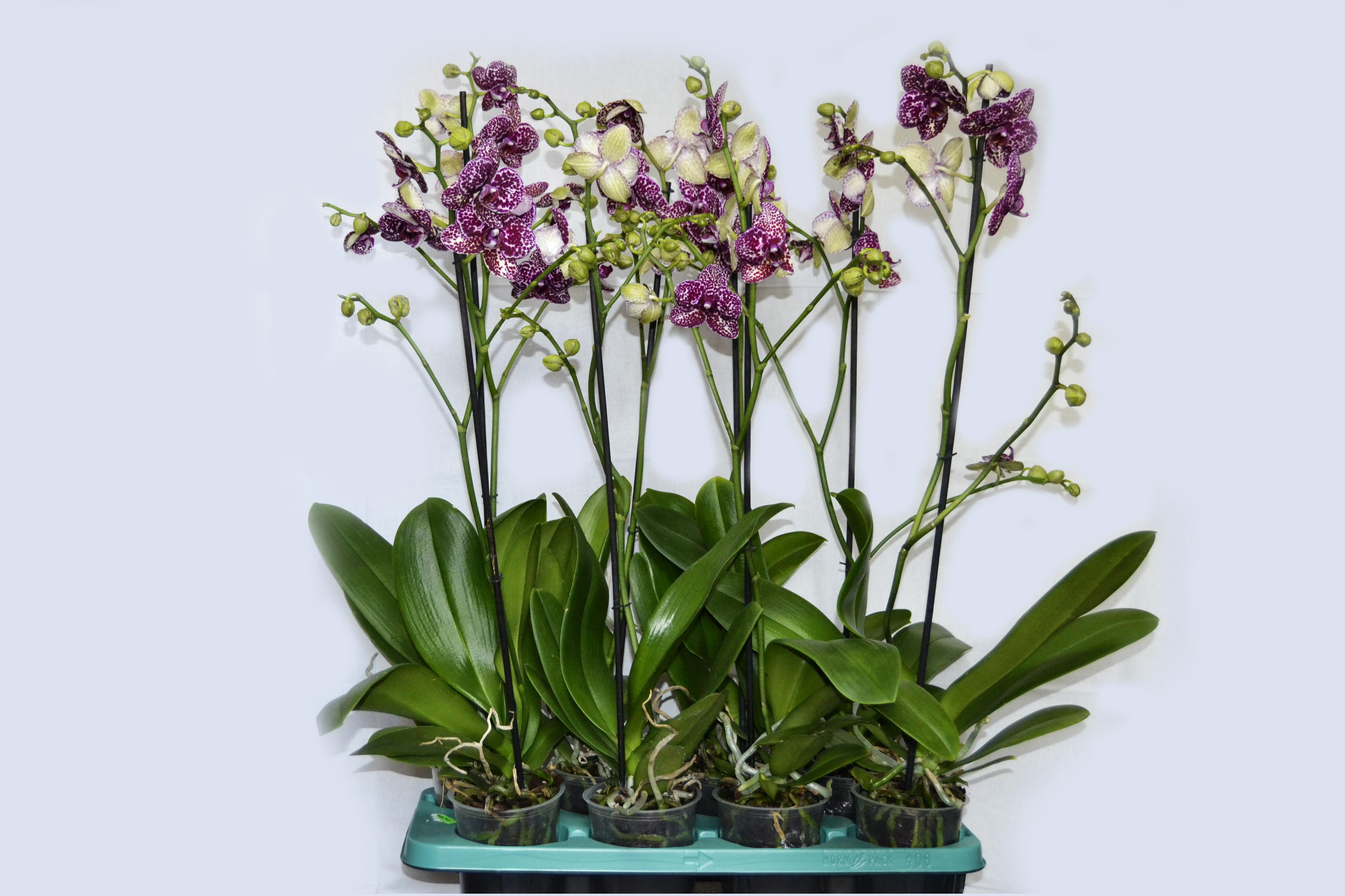 cc041ca9b Фаленопсис Дикий Кот, Phalaenopsis Wild Cat ( 1 ст Ø 12 см, h 70 см).  Главная · Комнатные растения · Орхидеи сортовые ...