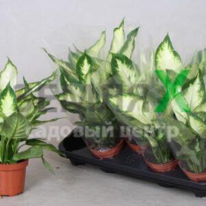 dieffenbachia-camilla