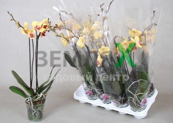 Орхидея Orange Mix