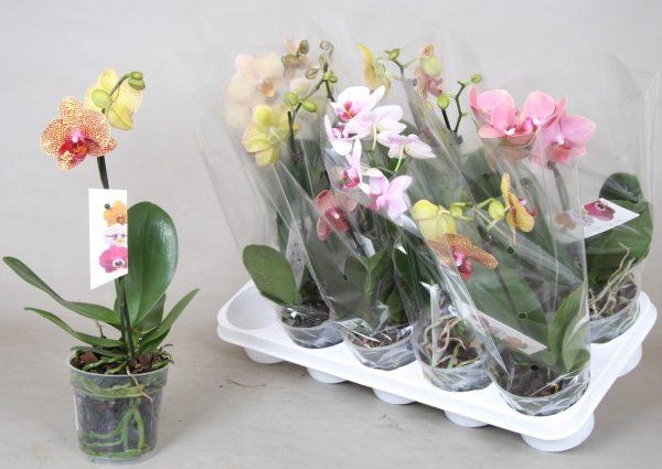 Орхидея Mix