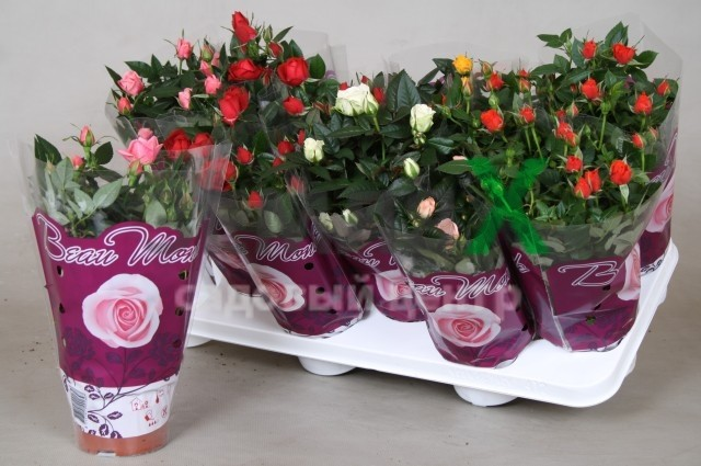 Уход за розами в горшке в домашних условиях