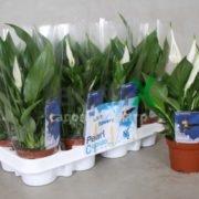spathiphyllum-pearl-cupido
