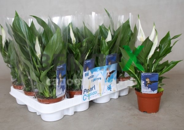 spathiphyllum-pearl-cupido