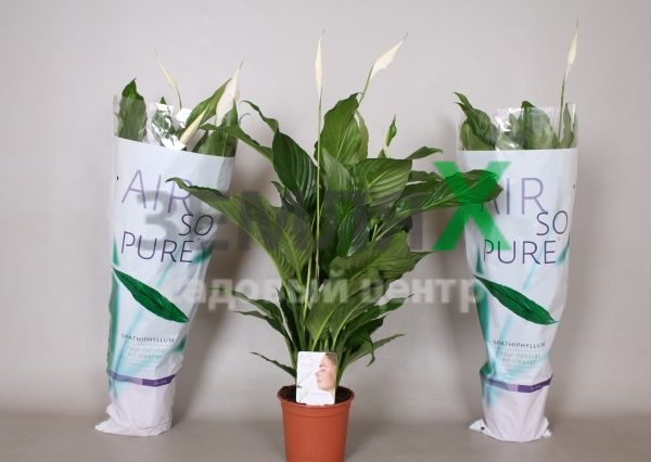 spathiphyllum-sweet-pablo