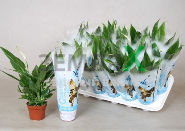 spathiphyllum-pronto-cupido-2