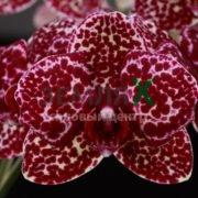 Орхидея Wild Cat